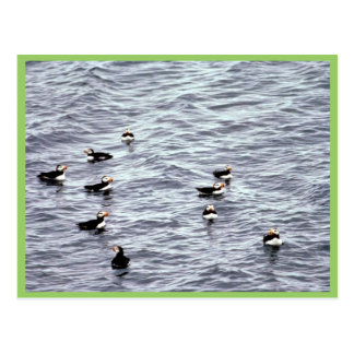 Horned Puffins on the Water Postcards