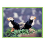 Horned Puffins Post Cards