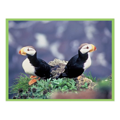 Horned Puffins Postcard