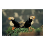 Horned Puffins Print