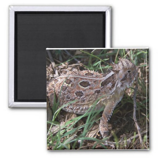 horned toad 2 inch square magnet