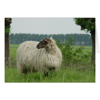 Hornless sheep card