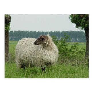 Hornless sheep postcard