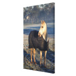 horse 2 stretched canvas print