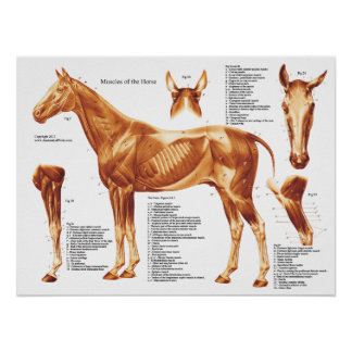 Horse Anatomy Muscles Poster