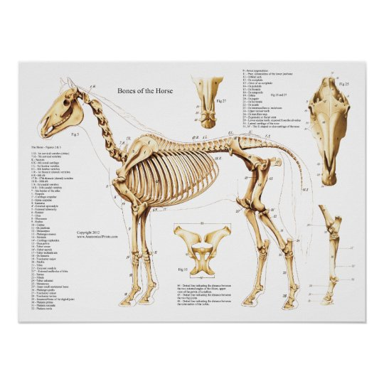 Horse Anatomy Skeleton Poster | Zazzle.com