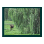 ~ Horse and a Willow ~ Post Card