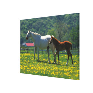 Horse and her foal standing in a field canvas print