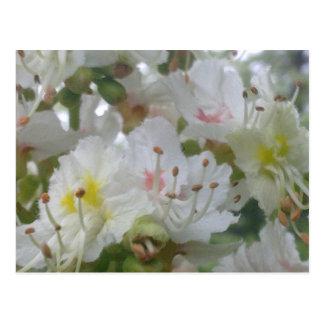 Horse Chestnut Blossom Postcard