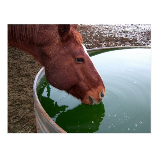 Horse Drinking Postcard