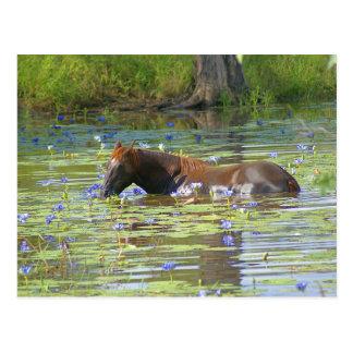 Horse eating in the lake, Australia, Photo Postcard