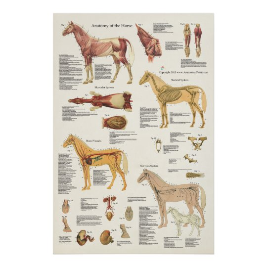 Horse Equine Anatomy Poster Large Format | Zazzle.com