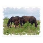 Horse Family Grazing Postcard