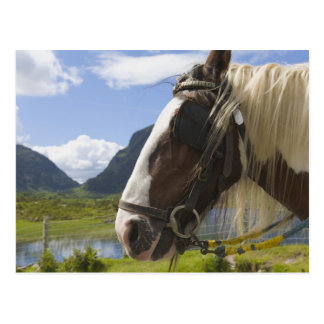 Horse, Gap of Dunloe, County Kerry, Ireland Postcard