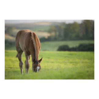 Horse grazing in field in County Wexford, Ireland Poster