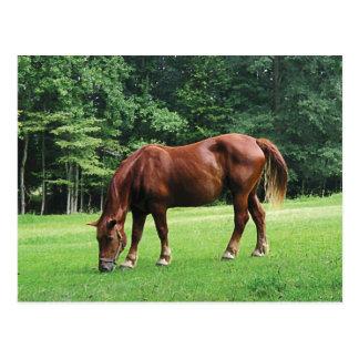 Horse Grazing in Pasture Postcard