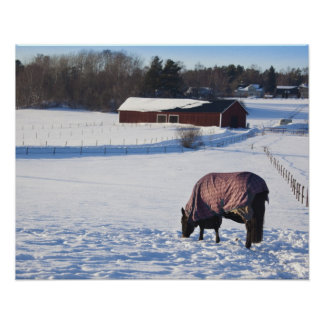 Horse grazing on a snow-covered field on Ekero 2 Poster