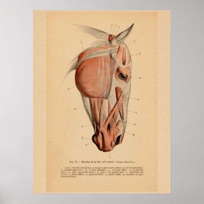 Vintage French Horse Breeds & Anatomy Chart | Zazzle.com