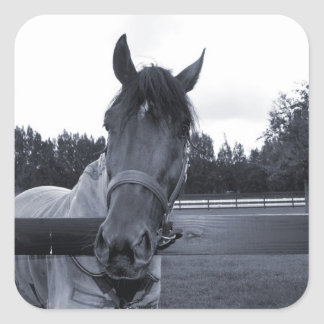 Horse head over fence head on bw square sticker
