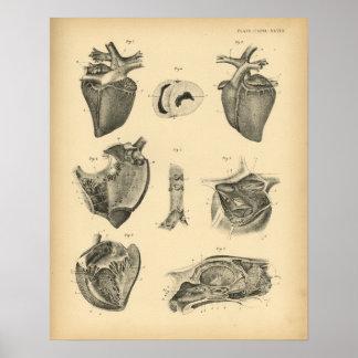 Horse Heart Anatomy 1908 Vintage Print