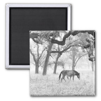 Horse In Foggy Field Of Oaks 2 Inch Square Magnet