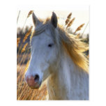 Horse In Wheat Postcards