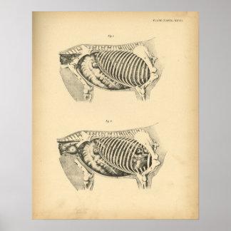 Horse Internal Anatomy 1908 Vintage Print