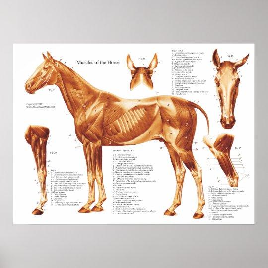 Horse Muscle Anatomy Chart Zazzle