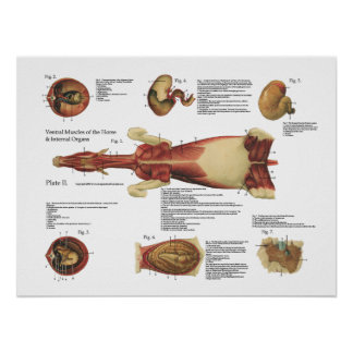 Horse Muscles Viscera Anatomy Poster Chart