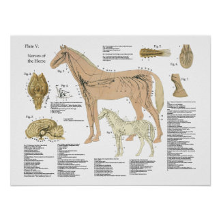 Horse Nervous System Anatomy Poster Chart