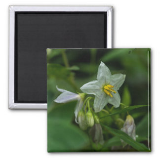 Horse Nettle White Wildflower Floral Magnet