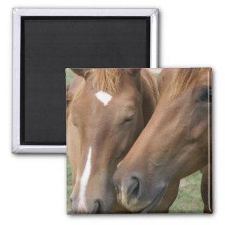 Horse Nuzzle Square Magnet