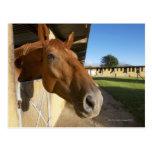 Horse portrait, Swaziland, South Africa Postcard