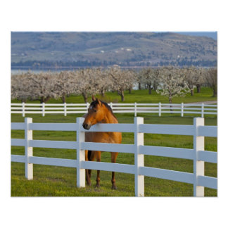 Horse poses by Flathead Cherry orchard near Poster