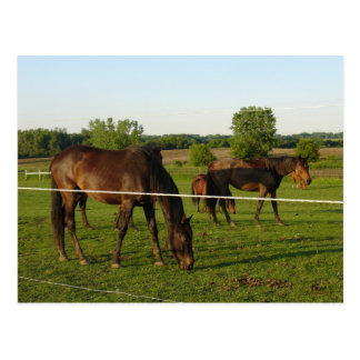 Horse Postcard Post Card