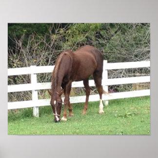 Horse Poster: American Saddlebred Grazing