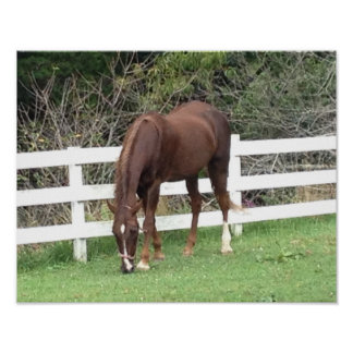 Horse Poster: American Saddlebred Grazing Poster