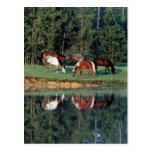 Horse Reflection Postcard