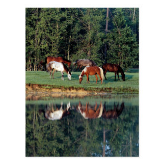 Horse Reflection Post Card