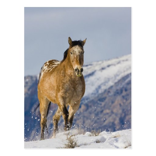 Horse Running in Snow 2 Post Card
