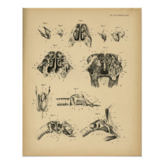 Horse Skull Throat Anatomy 1908 Vintage Print