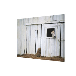 Horse Sticking Head out Barn Window Canvas Print
