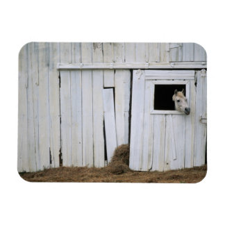 Horse Sticking Head out Barn Window Magnet