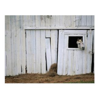 Horse Sticking Head out Barn Window Postcard
