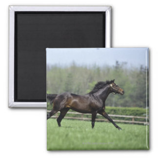 Horse Thoroughbreds, Wassl 1988, 2 Inch Square Magnet