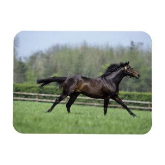Horse Thoroughbreds, Wassl 1988, Rectangular Photo Magnet