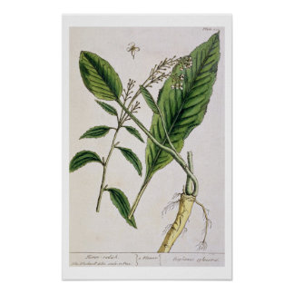 Horseradish, plate 415 from 'A Curious Herbal', pu Poster