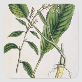 Horseradish, plate 415 from 'A Curious Herbal', pu Square Sticker