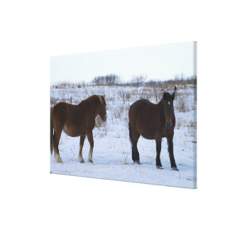 Horses at Cape Kiritappu, Hokkaido Prefecture, Canvas Print