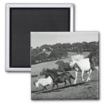 Horses At Play Magnets